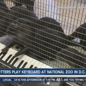 VIDEO: Otters from the National Zoo Play Keyboard, Masters Program Offered to As Part of Animal Enrichment Program